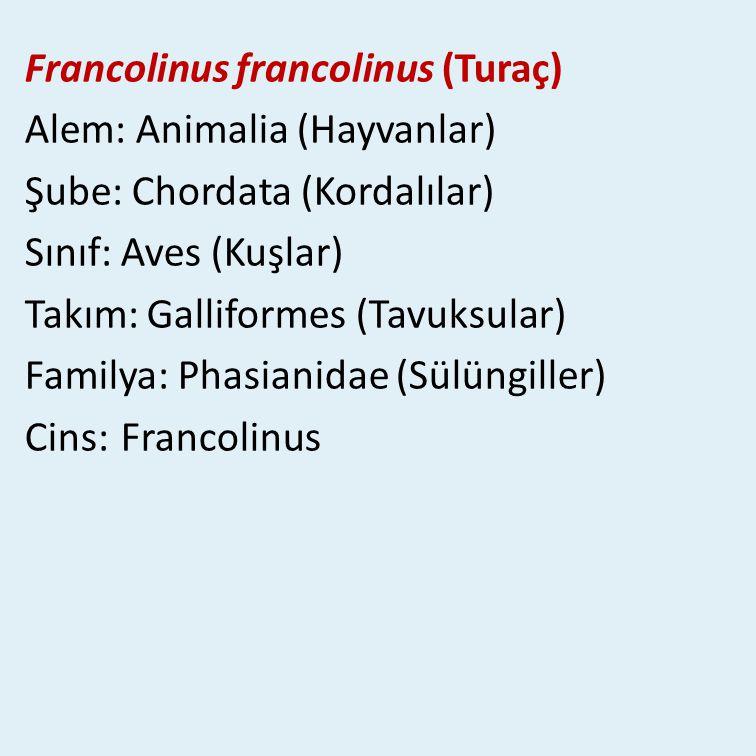 Francolinus francolinus (Turaç)