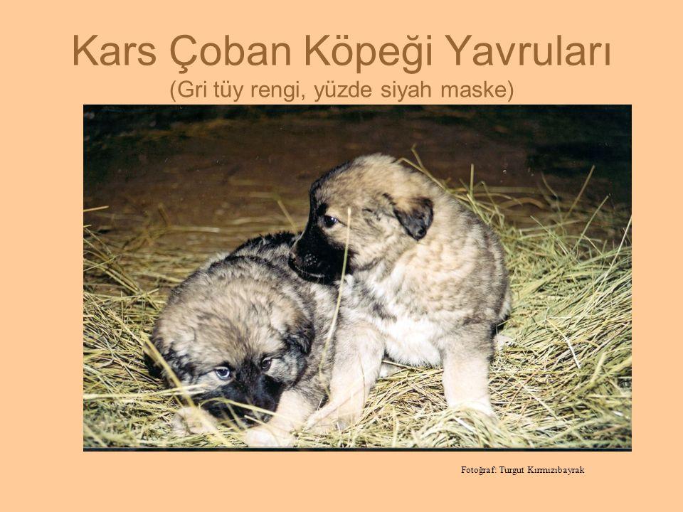 Kars Çoban Köpeği Yavruları (Gri tüy rengi, yüzde siyah maske)