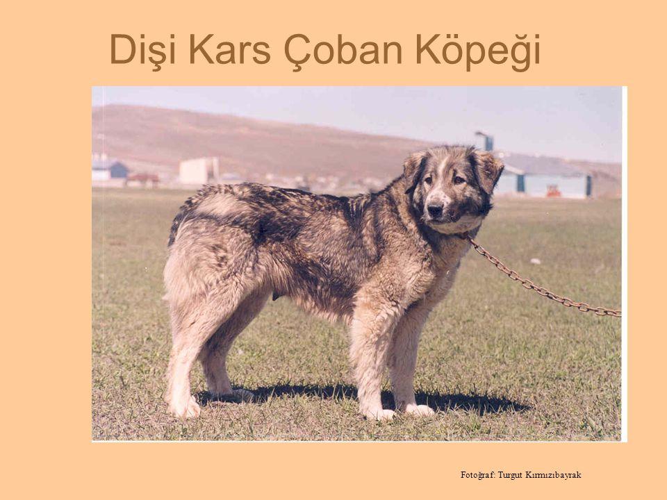 Dişi Kars Çoban Köpeği Fotoğraf: Turgut Kırmızıbayrak