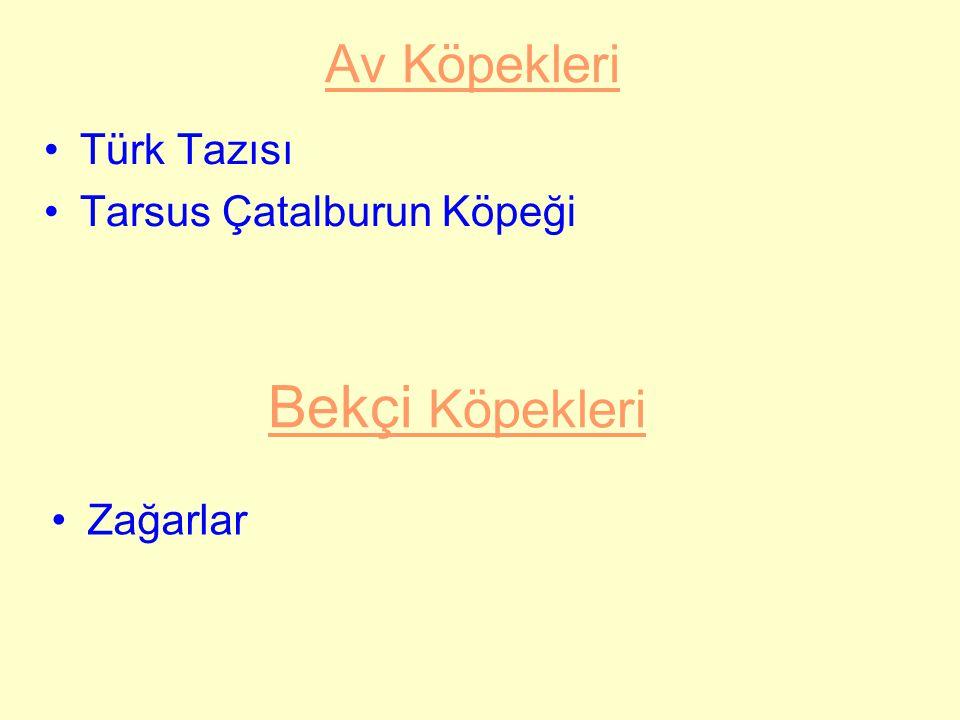 Bekçi Köpekleri Av Köpekleri Türk Tazısı Tarsus Çatalburun Köpeği