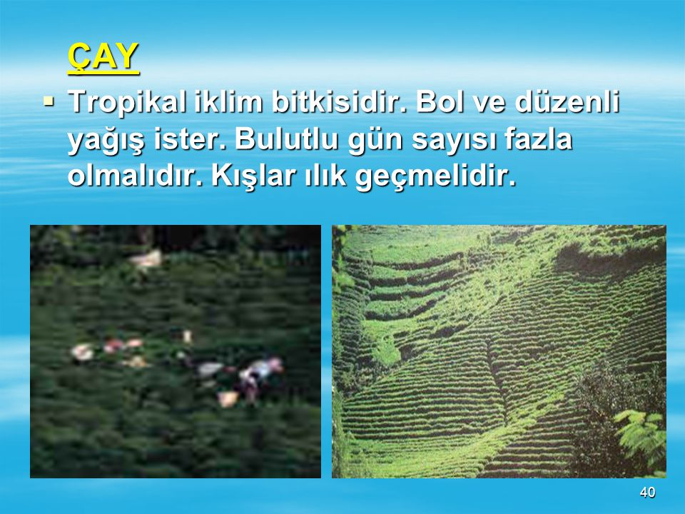 ÇAY Tropikal iklim bitkisidir. Bol ve düzenli yağış ister.