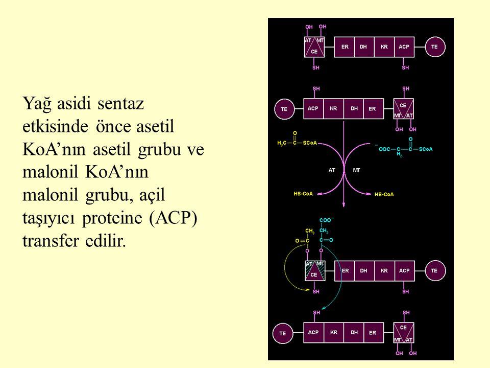 Yağ asidi sentaz etkisinde önce asetil KoA'nın asetil grubu ve malonil KoA'nın malonil grubu, açil taşıyıcı proteine (ACP) transfer edilir.