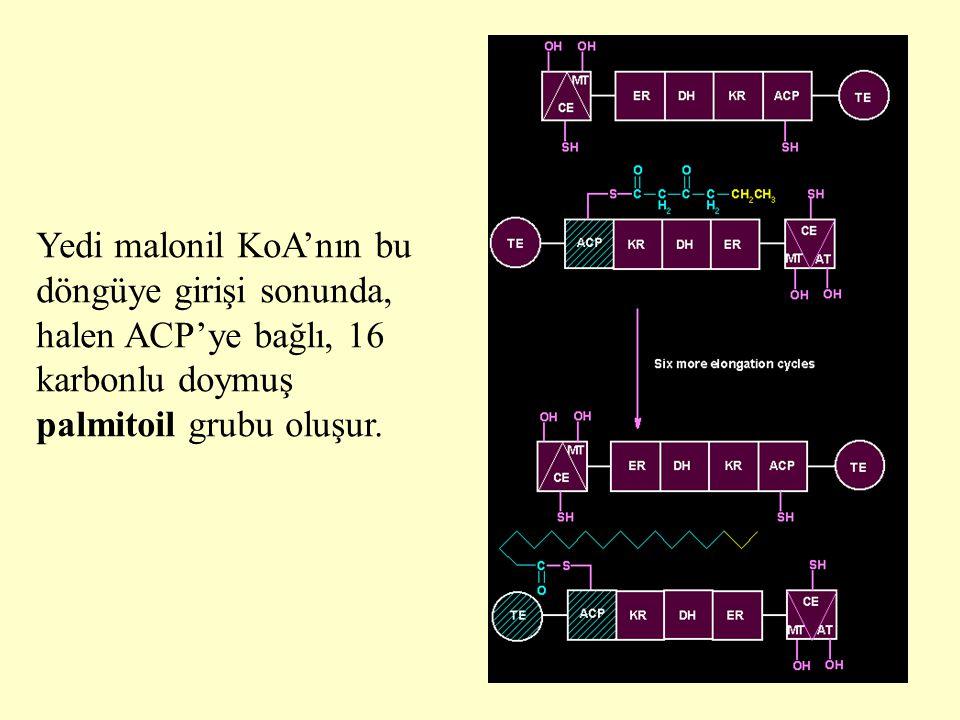 Yedi malonil KoA'nın bu döngüye girişi sonunda, halen ACP'ye bağlı, 16 karbonlu doymuş palmitoil grubu oluşur.