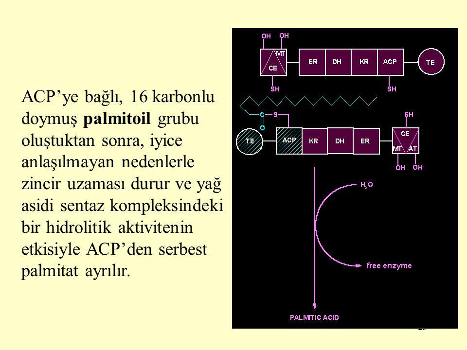ACP'ye bağlı, 16 karbonlu doymuş palmitoil grubu oluştuktan sonra, iyice anlaşılmayan nedenlerle zincir uzaması durur ve yağ asidi sentaz kompleksindeki bir hidrolitik aktivitenin etkisiyle ACP'den serbest palmitat ayrılır.