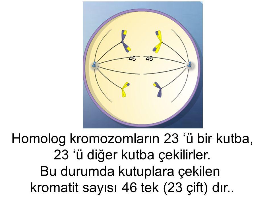 Homolog kromozomların 23 'ü bir kutba, 23 'ü diğer kutba çekilirler.
