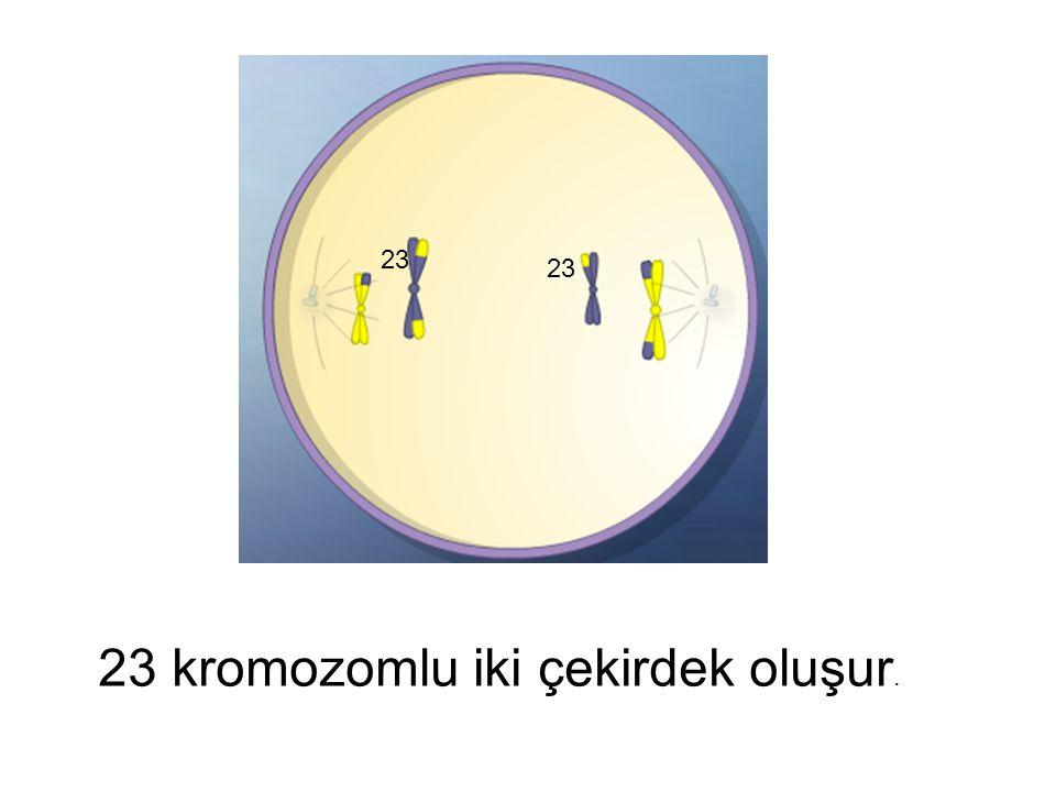 23 kromozomlu iki çekirdek oluşur.