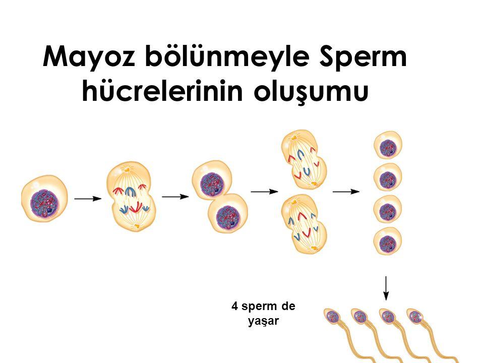 Mayoz bölünmeyle Sperm hücrelerinin oluşumu