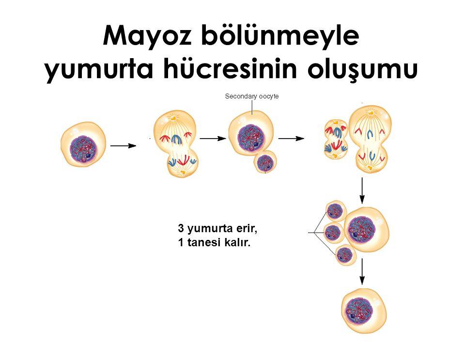 Mayoz bölünmeyle yumurta hücresinin oluşumu
