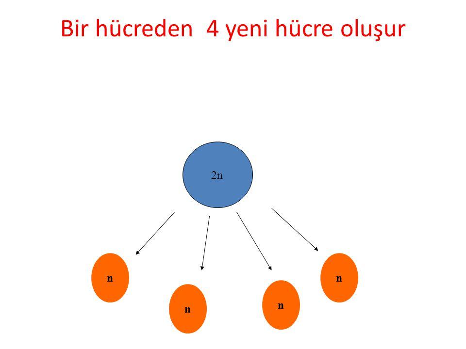 Bir hücreden 4 yeni hücre oluşur