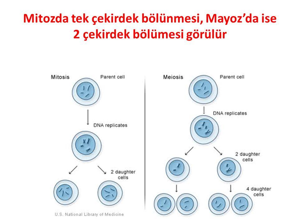Mitozda tek çekirdek bölünmesi, Mayoz'da ise 2 çekirdek bölümesi görülür