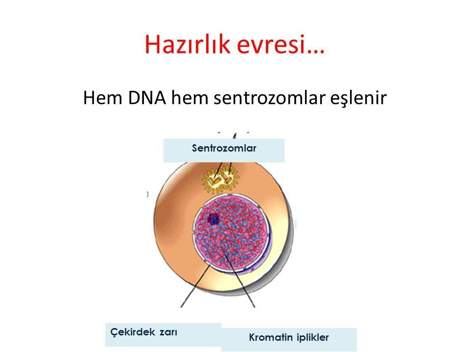 Hem DNA hem sentrozomlar eşlenir