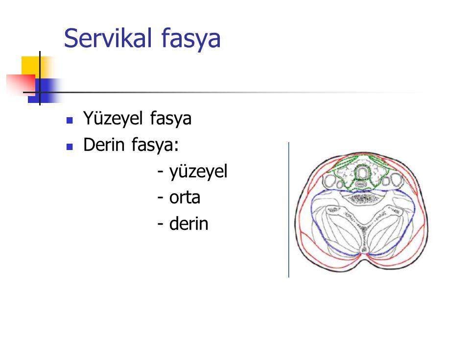 Servikal fasya Yüzeyel fasya Derin fasya: - yüzeyel - orta - derin