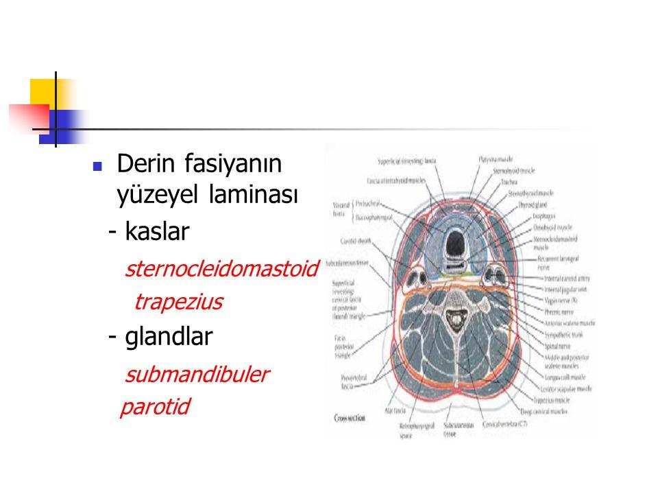 Derin fasiyanın yüzeyel laminası - kaslar sternocleidomastoid
