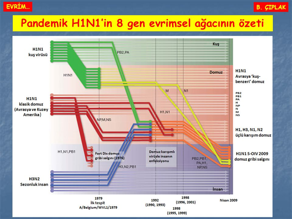 Pandemik H1N1'in 8 gen evrimsel ağacının özeti