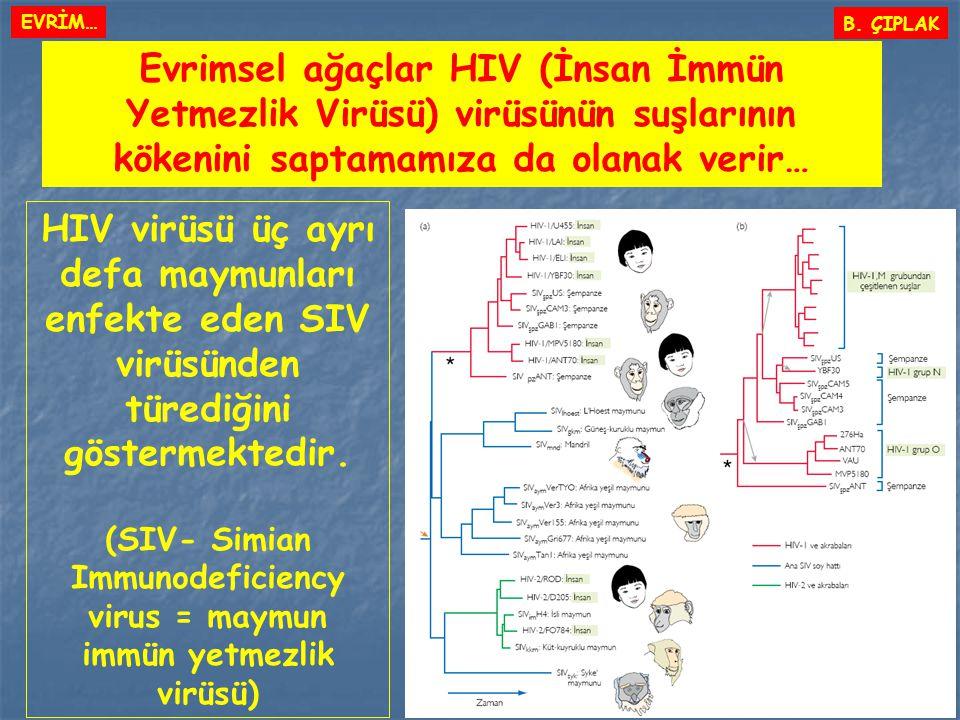 (SIV- Simian Immunodeficiency virus = maymun immün yetmezlik virüsü)