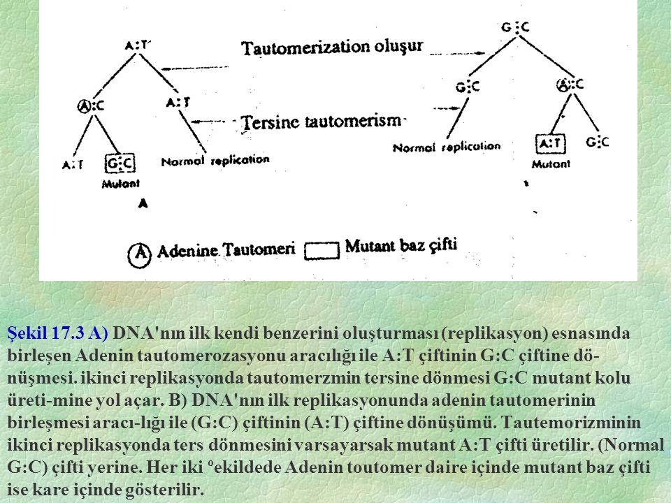 Şekil 17.3 A) DNA nın ilk kendi benzerini oluşturması (replikasyon) esnasında birleşen Adenin tautomerozasyonu aracılığı ile A:T çiftinin G:C çiftine dö-nüşmesi.