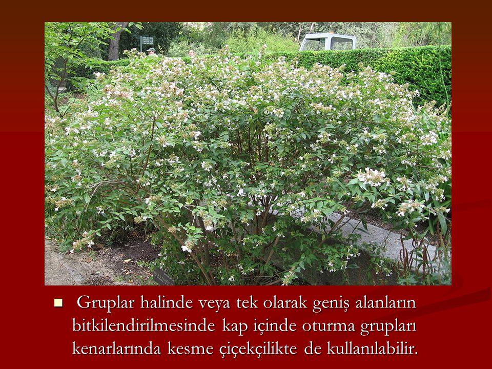 Gruplar halinde veya tek olarak geniş alanların bitkilendirilmesinde kap içinde oturma grupları kenarlarında kesme çiçekçilikte de kullanılabilir.