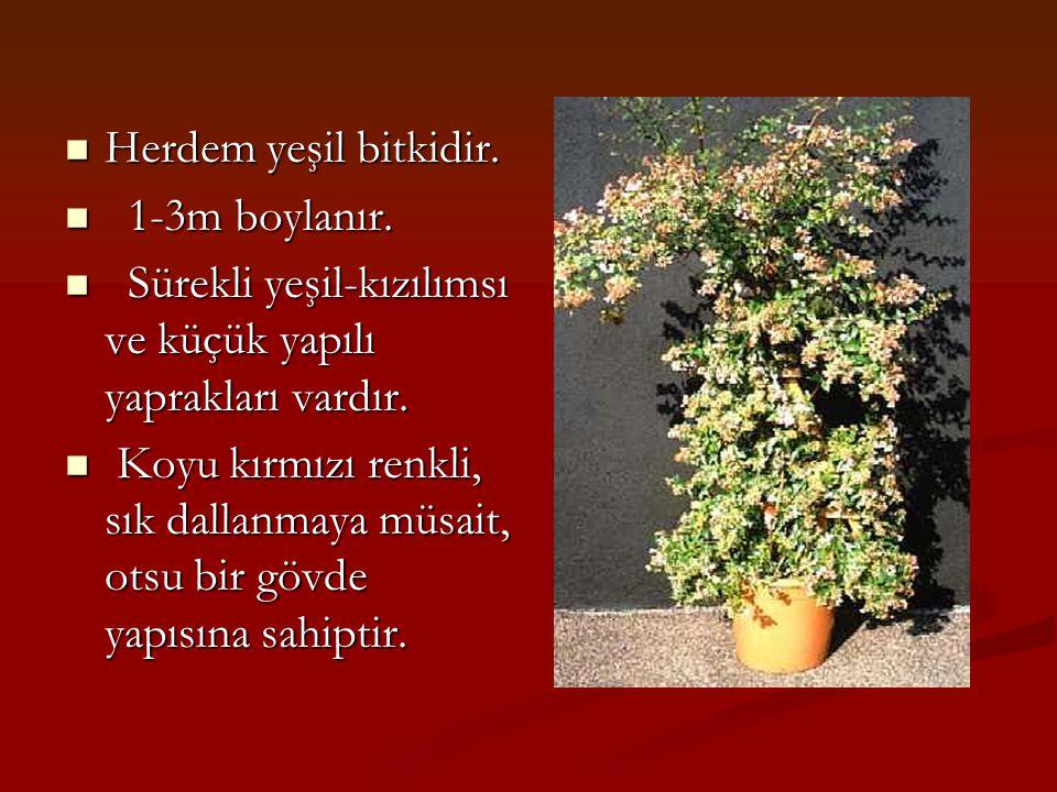 Herdem yeşil bitkidir. 1-3m boylanır. Sürekli yeşil-kızılımsı ve küçük yapılı yaprakları vardır.
