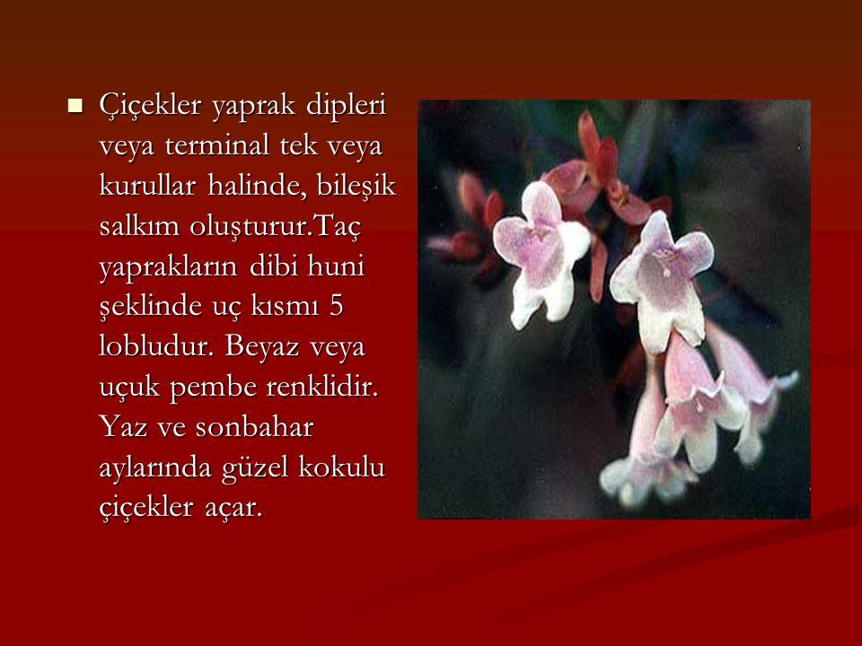Çiçekler yaprak dipleri veya terminal tek veya kurullar halinde, bileşik salkım oluşturur.Taç yaprakların dibi huni şeklinde uç kısmı 5 lobludur.