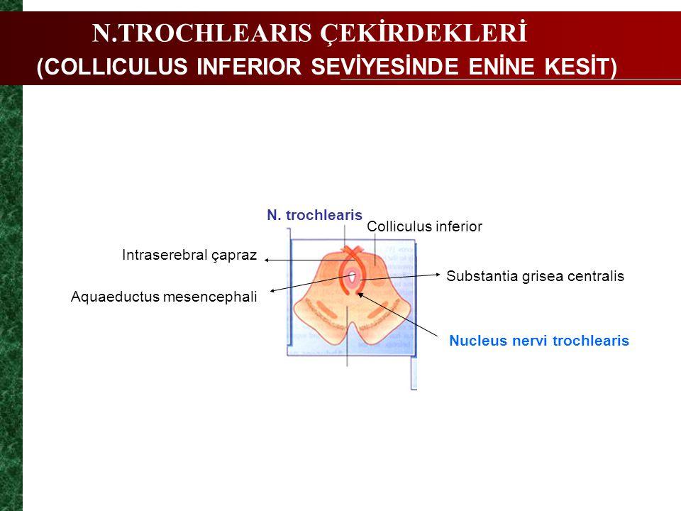 N.TROCHLEARIS ÇEKİRDEKLERİ