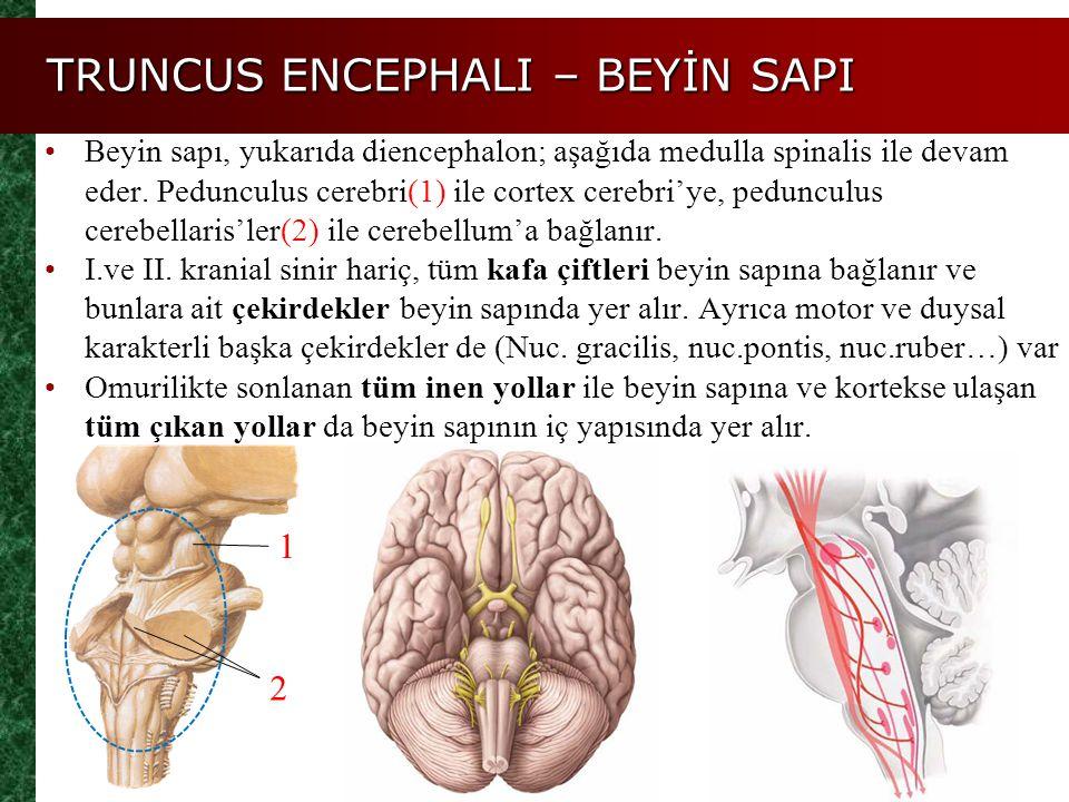 TRUNCUS ENCEPHALI – BEYİN SAPI