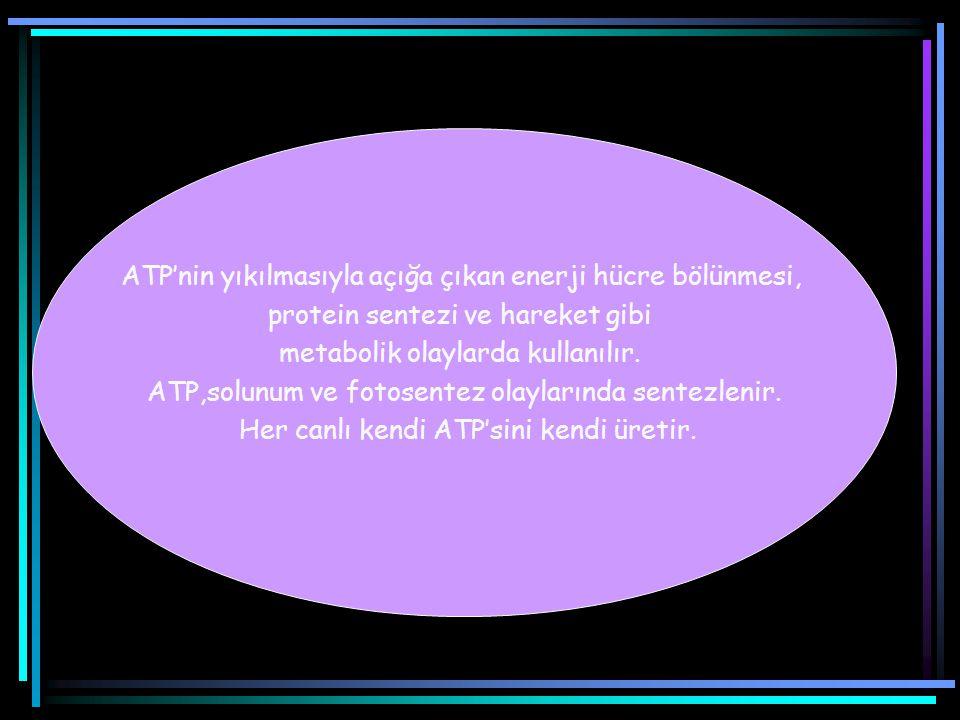 ATP'nin yıkılmasıyla açığa çıkan enerji hücre bölünmesi,