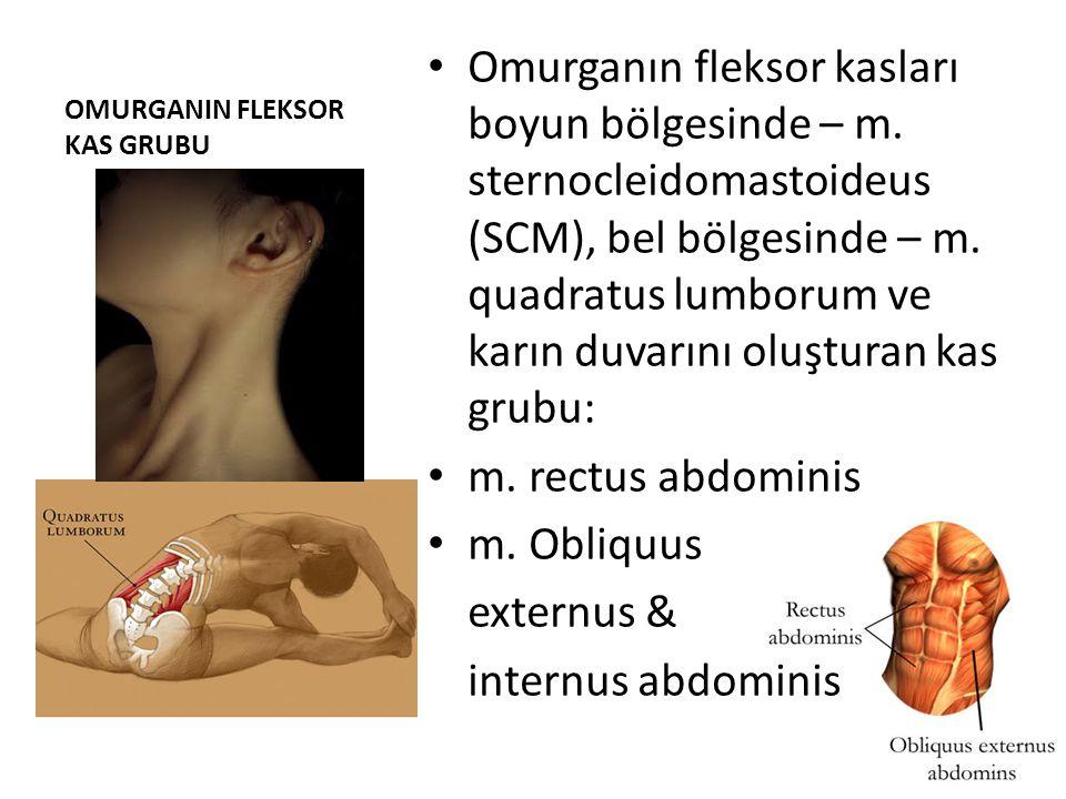 OMURGANIN FLEKSOR KAS GRUBU