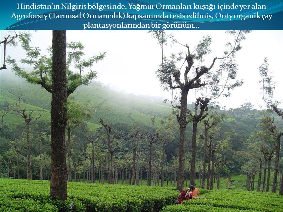 Hindistan'ın Nilgiris bölgesinde, Yağmur Ormanları kuşağı içinde yer alan Agroforsty (Tarımsal Ormancılık) kapsamında tesis edilmiş, Ooty organik çay plantasyonlarından bir görünüm…