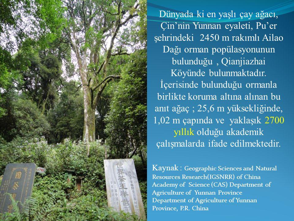 Dünyada ki en yaşlı çay ağacı,