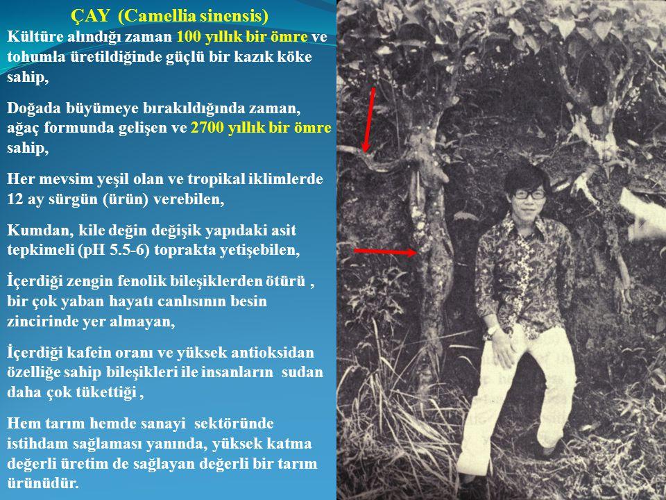 ÇAY (Camellia sinensis)