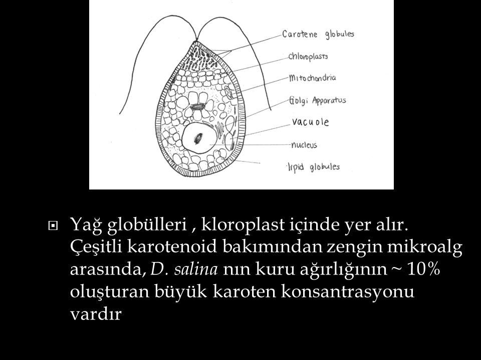 Yağ globülleri , kloroplast içinde yer alır