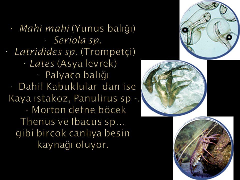 · Mahi mahi (Yunus balığı) · Seriola sp. · Latridides sp