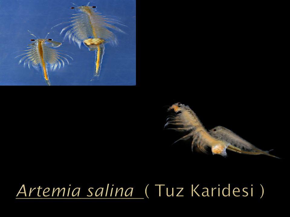 Artemia salina ( Tuz Karidesi )