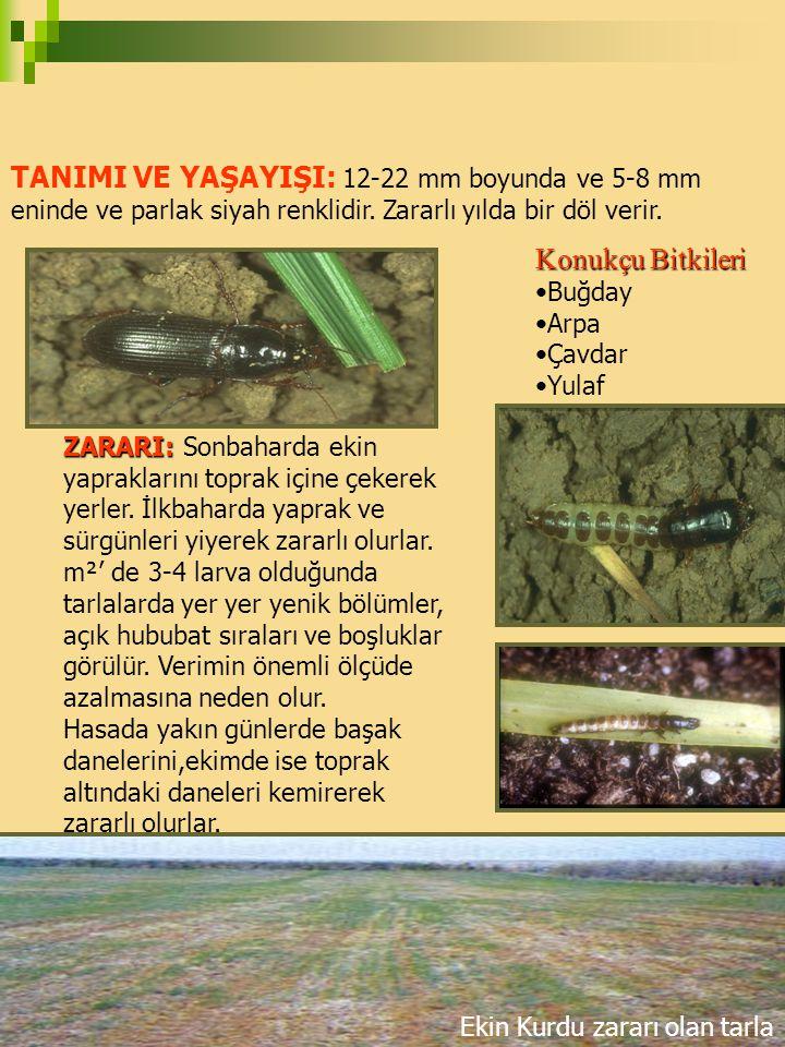 TANIMI VE YAŞAYIŞI: 12-22 mm boyunda ve 5-8 mm eninde ve parlak siyah renklidir. Zararlı yılda bir döl verir.