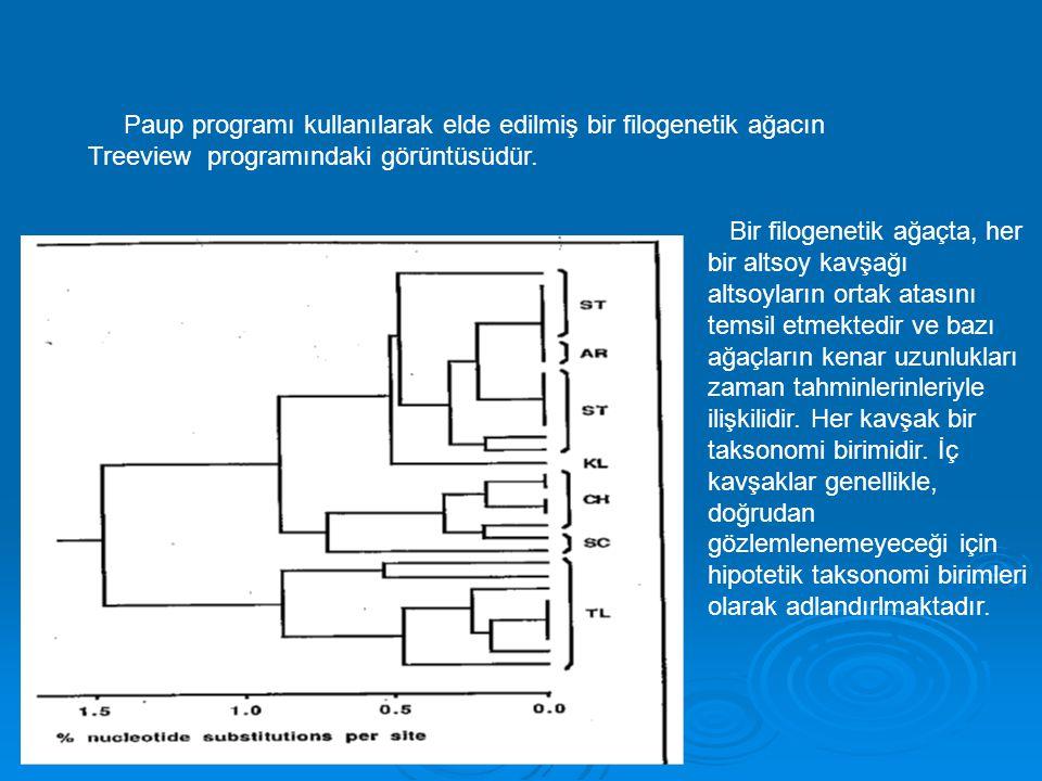 Paup programı kullanılarak elde edilmiş bir filogenetik ağacın Treeview programındaki görüntüsüdür.