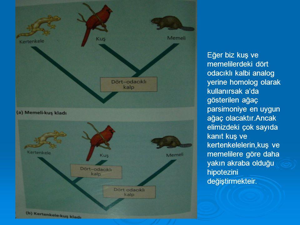 Eğer biz kuş ve memelilerdeki dört odacıklı kalbi analog yerine homolog olarak kullanırsak a'da gösterilen ağaç parsimoniye en uygun ağaç olacaktır.Ancak elimizdeki çok sayıda kanıt kuş ve kertenkelelerin,kuş ve memelilere göre daha yakın akraba olduğu hipotezini değiştirmekteir.