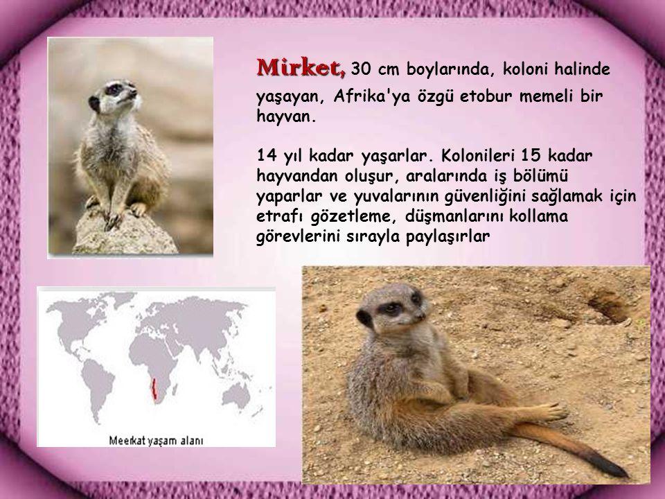 Mirket, 30 cm boylarında, koloni halinde yaşayan, Afrika ya özgü etobur memeli bir hayvan.