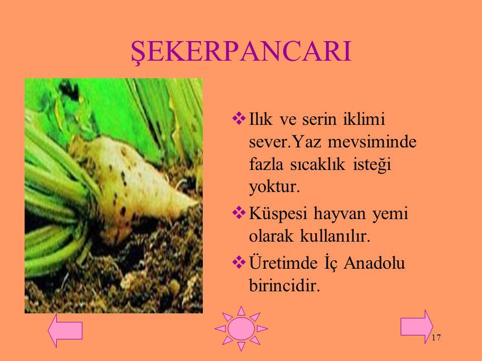 ŞEKERPANCARI Ilık ve serin iklimi sever.Yaz mevsiminde fazla sıcaklık isteği yoktur. Küspesi hayvan yemi olarak kullanılır.
