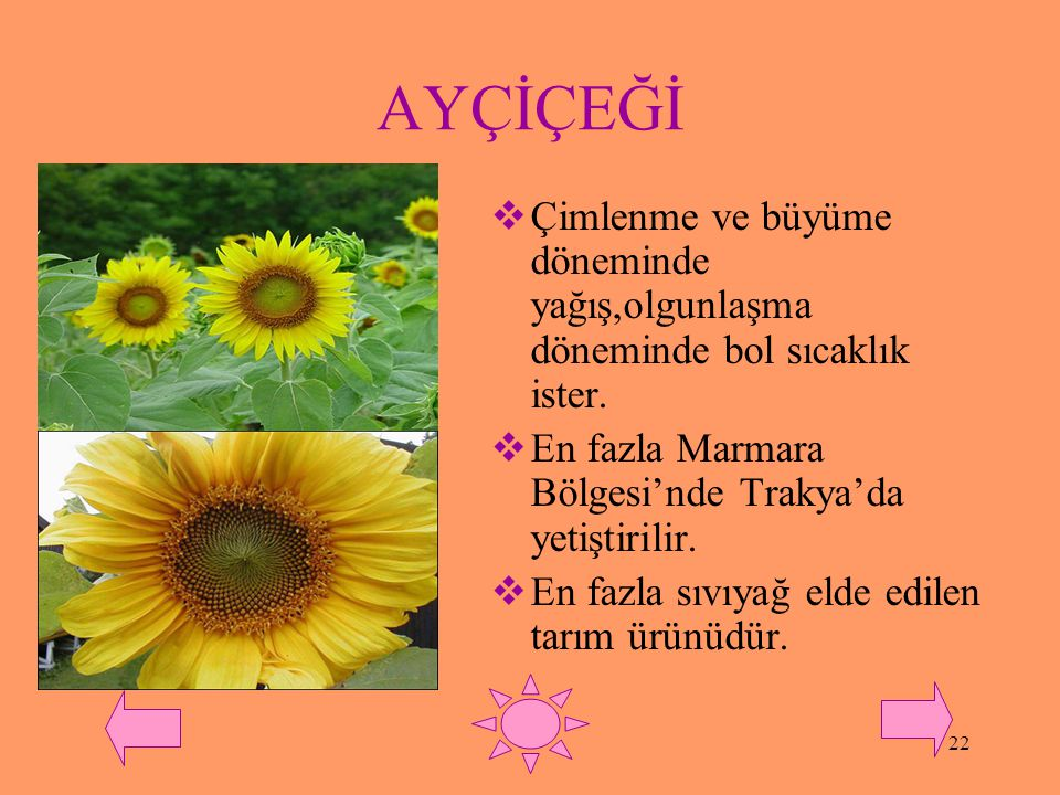 AYÇİÇEĞİ Çimlenme ve büyüme döneminde yağış,olgunlaşma döneminde bol sıcaklık ister. En fazla Marmara Bölgesi'nde Trakya'da yetiştirilir.