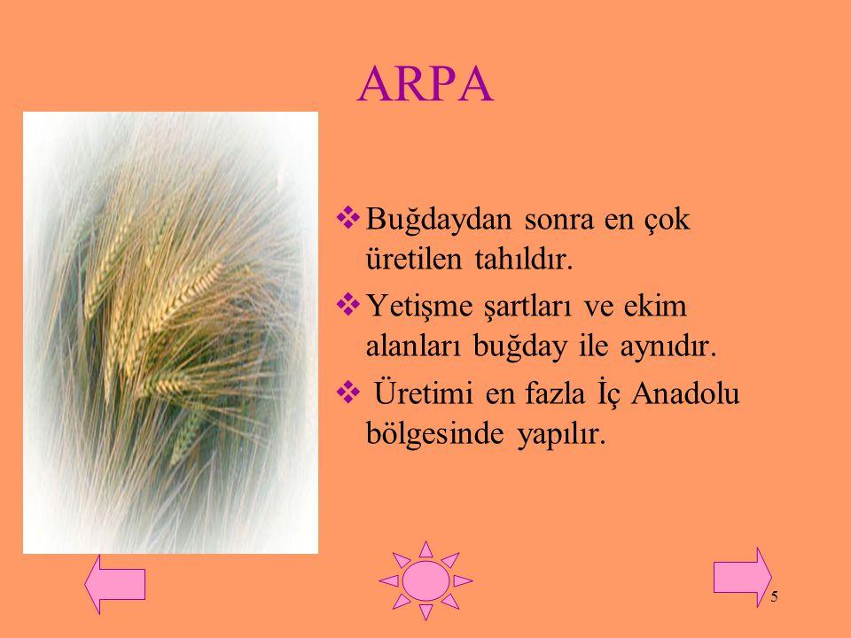 ARPA Buğdaydan sonra en çok üretilen tahıldır.