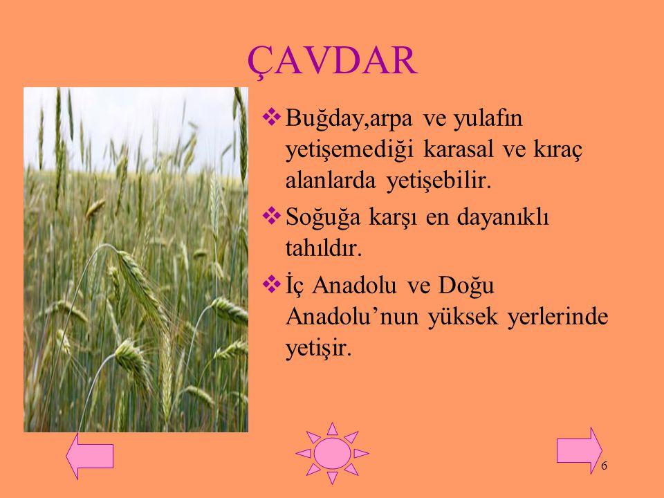 ÇAVDAR Buğday,arpa ve yulafın yetişemediği karasal ve kıraç alanlarda yetişebilir. Soğuğa karşı en dayanıklı tahıldır.