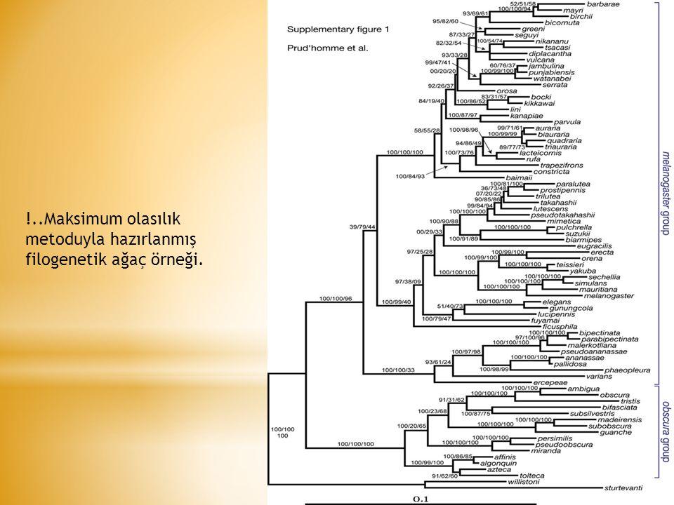 !..Maksimum olasılık metoduyla hazırlanmış filogenetik ağaç örneği.
