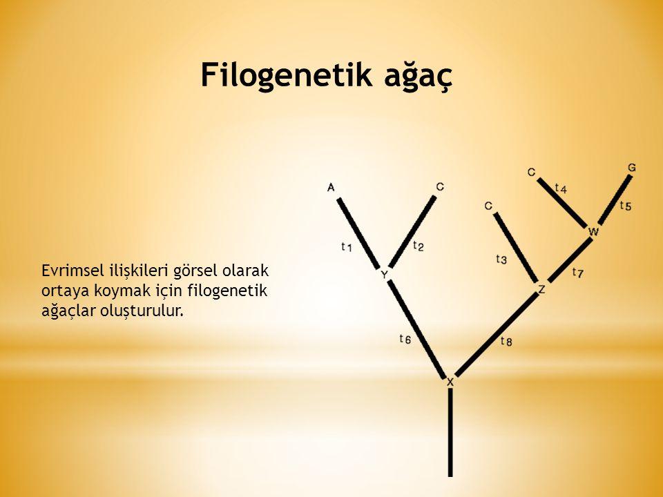 Filogenetik ağaç Evrimsel ilişkileri görsel olarak ortaya koymak için filogenetik ağaçlar oluşturulur.