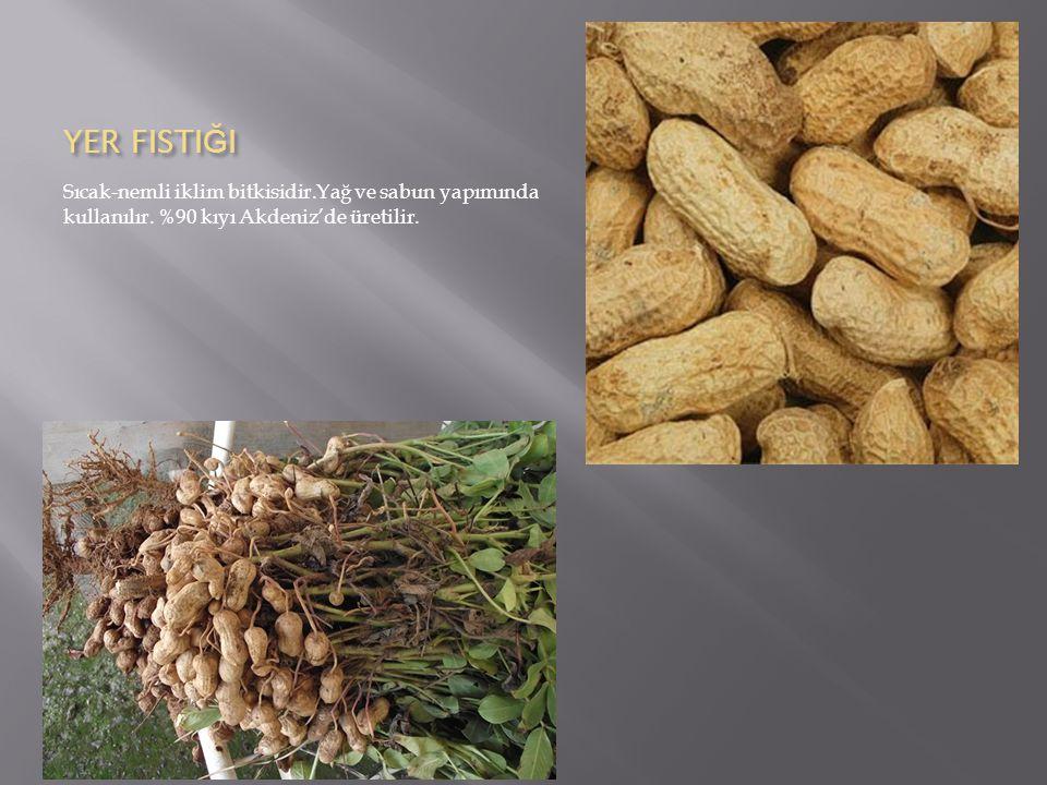 YER FISTIĞI Sıcak-nemli iklim bitkisidir.Yağ ve sabun yapımında kullanılır.