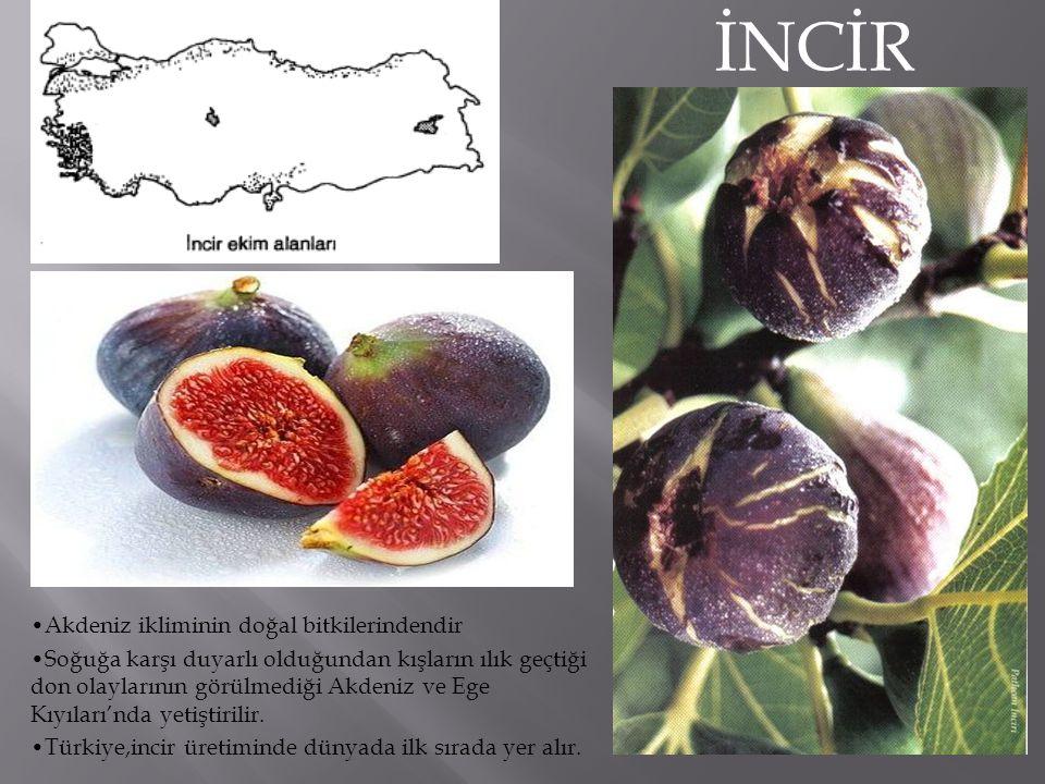 İNCİR Akdeniz ikliminin doğal bitkilerindendir
