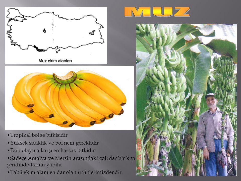 MUZ Tropikal bölge bitkisidir Yüksek sıcaklık ve bol nem gereklidir