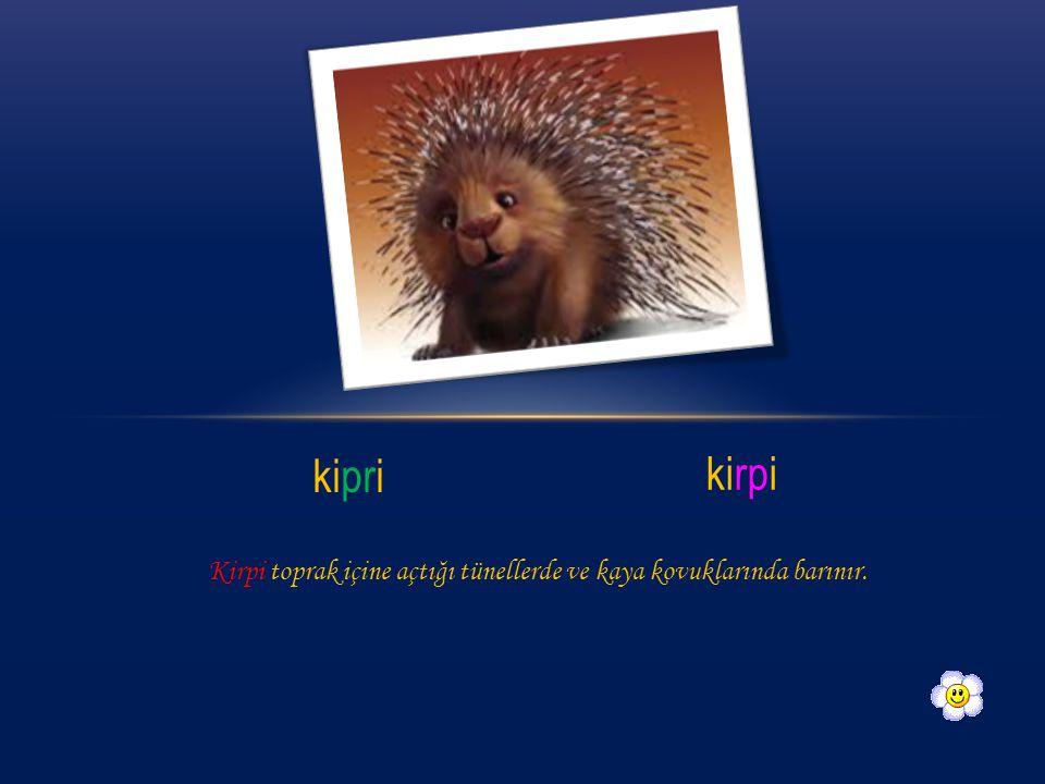 kipri kirpi Kirpi toprak içine açtığı tünellerde ve kaya kovuklarında barınır.