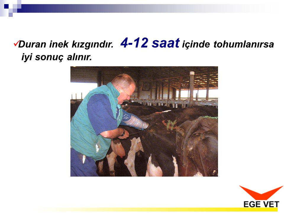 Duran inek kızgındır. 4-12 saat içinde tohumlanırsa iyi sonuç alınır.