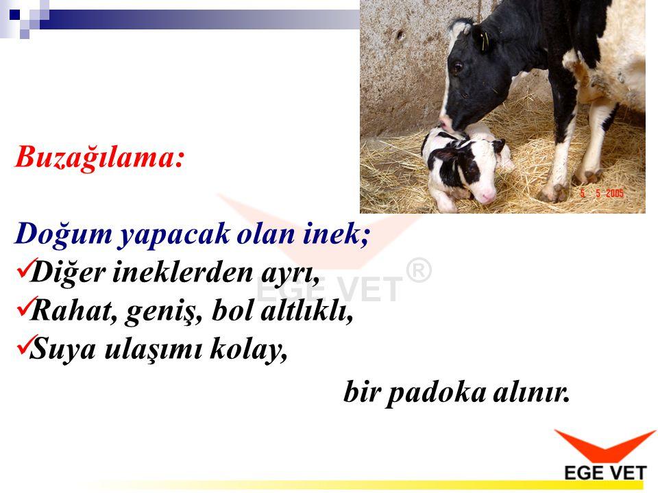 Buzağılama: Doğum yapacak olan inek; Diğer ineklerden ayrı, Rahat, geniş, bol altlıklı, Suya ulaşımı kolay, bir padoka alınır.