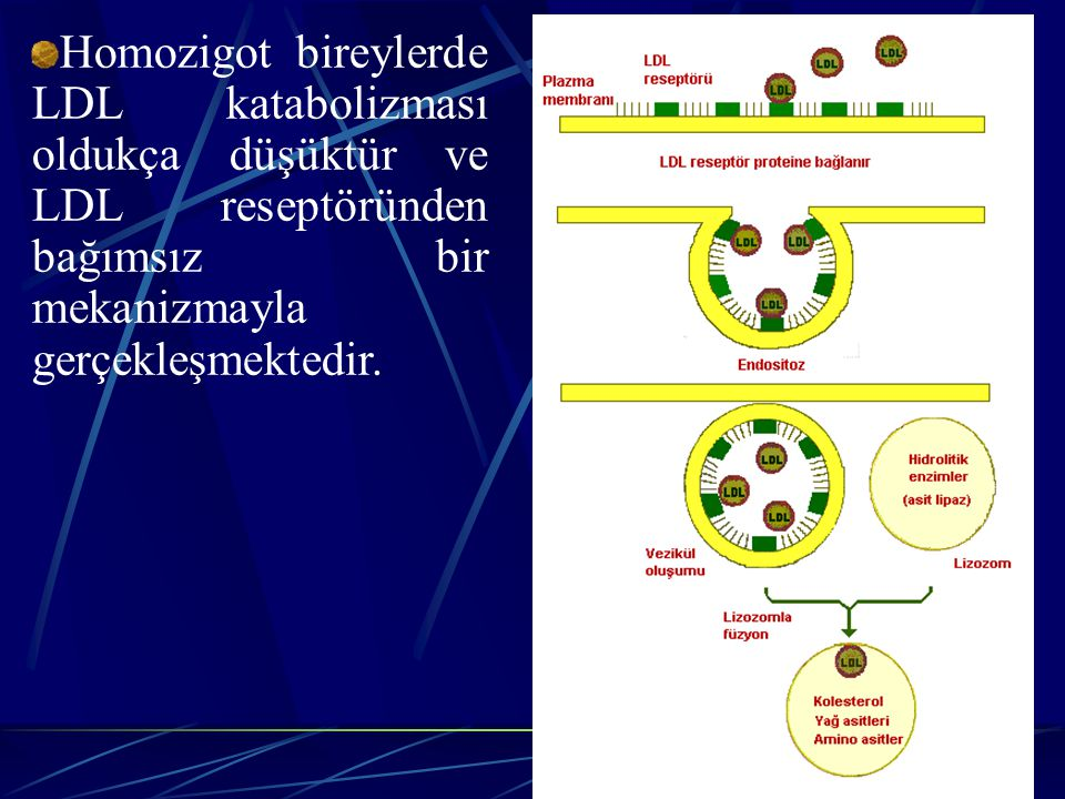 Homozigot bireylerde LDL katabolizması oldukça düşüktür ve LDL reseptöründen bağımsız bir mekanizmayla gerçekleşmektedir.